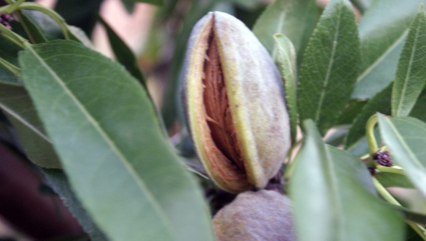 Secaderos de frutos de cáscara leñosa Zaffrani