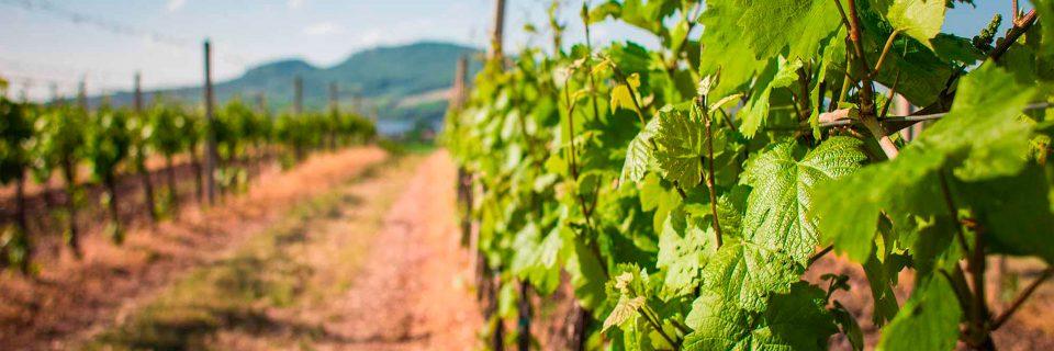 Especialistas en cultivo y mantenimiento de plantaciones frutales y viña